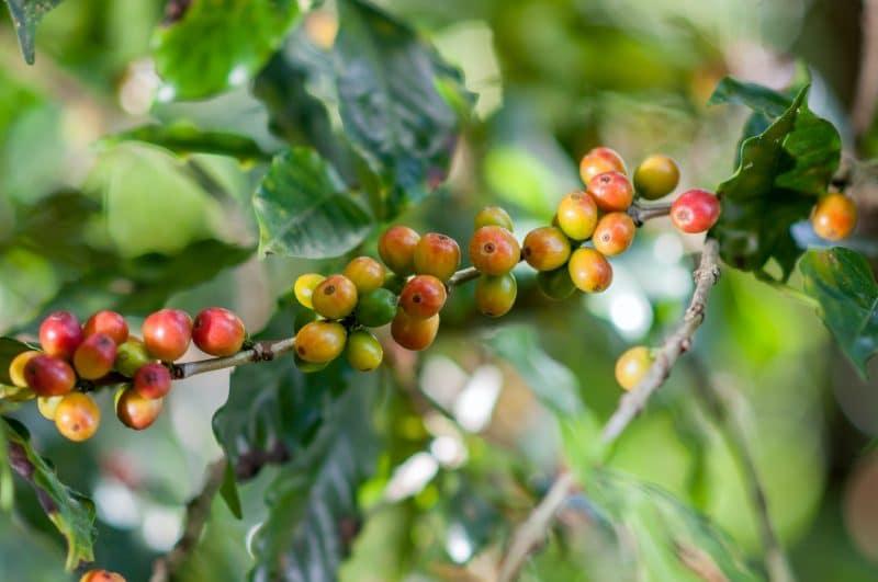 La cafeine un igrédient indispensable pour tous les brûleurs de graisse