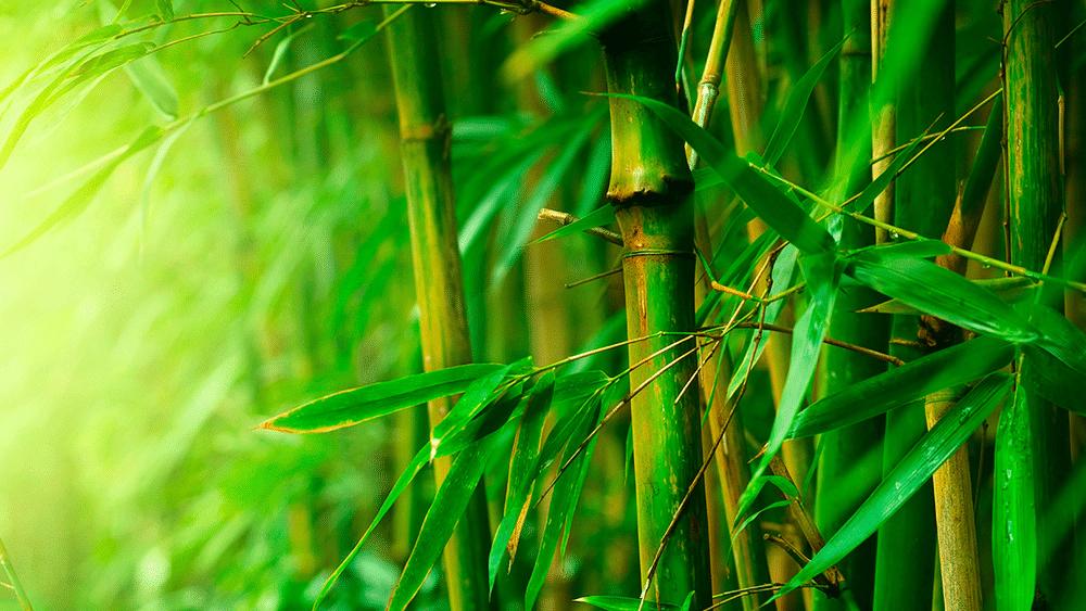 bambou tabashir : tous les bienfaits pour l'organisme